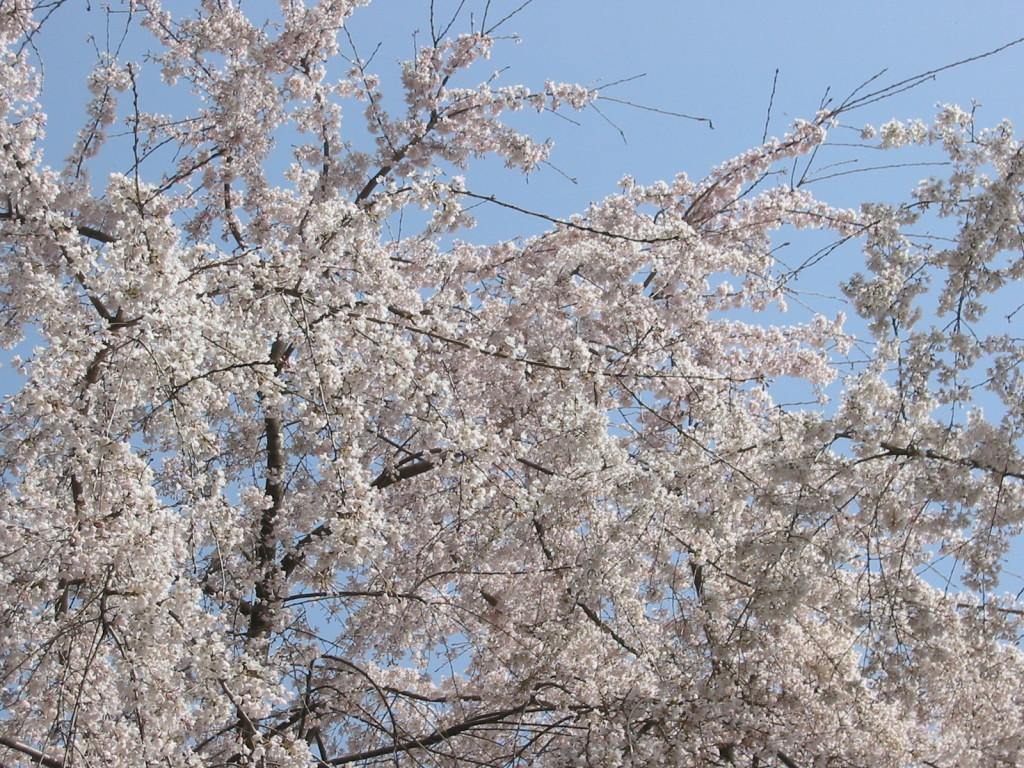 公園の桜満開